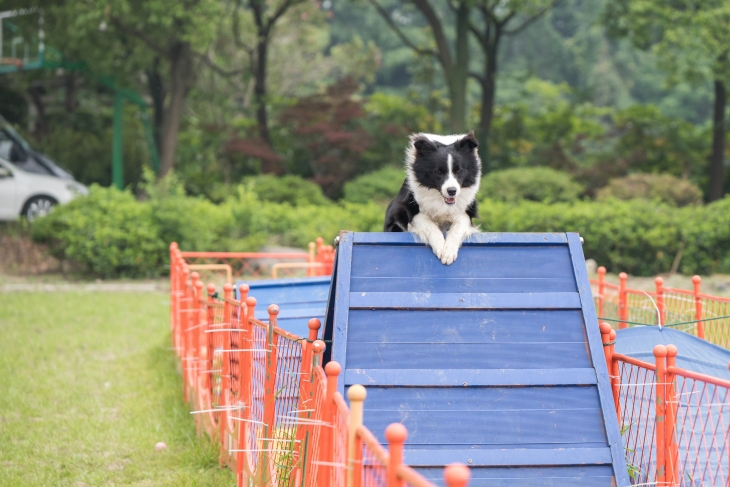 iStock-965678498_agility dog_Road Map.jpg